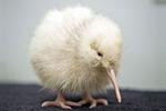 Kiwi albino